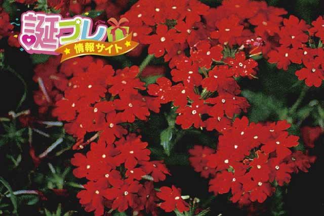 赤色のバーベナの画像