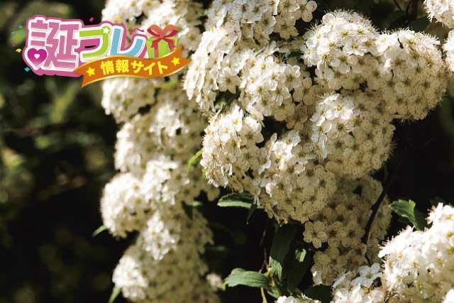 コデマリの花の画像