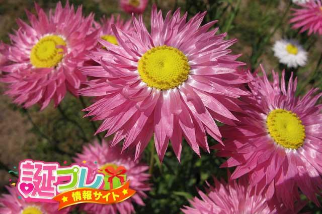 ローダンセの花の画像
