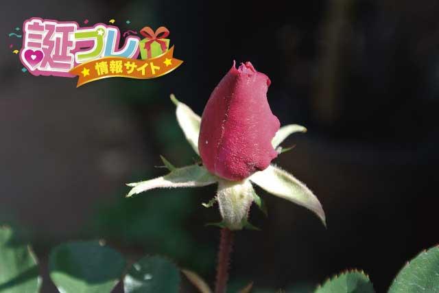 薔薇の蕾の画像
