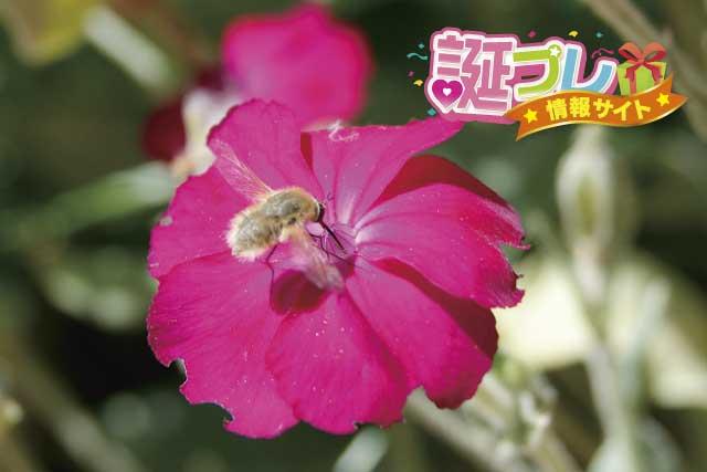 スイセンノウの花の画像