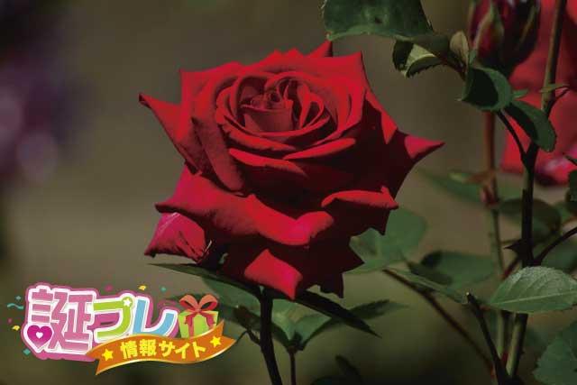 薔薇の花の画像