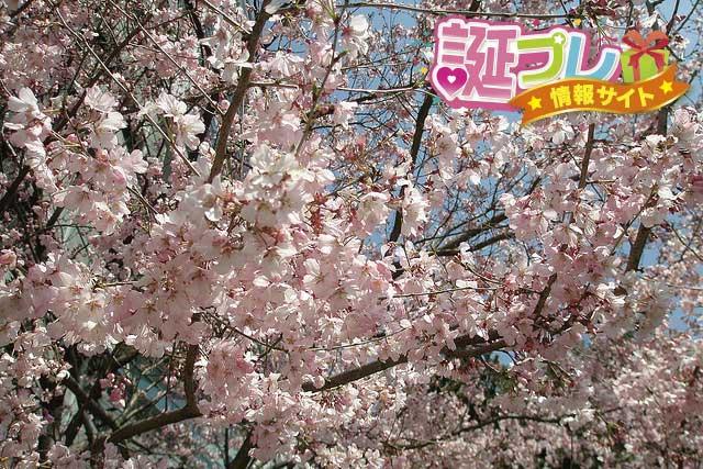 彼岸桜の花の画像