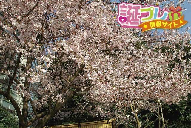 彼岸桜の画像