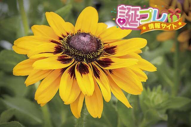 ルドベキアの花の画像
