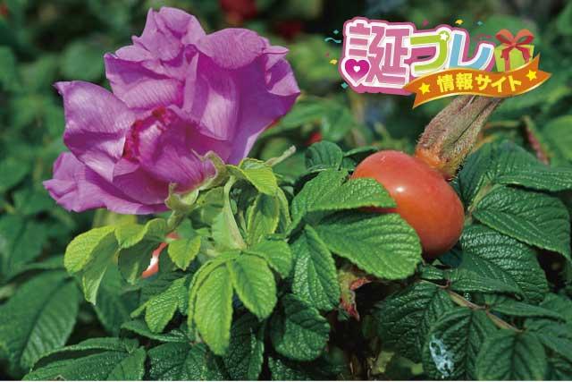 ハマナスの花の画像