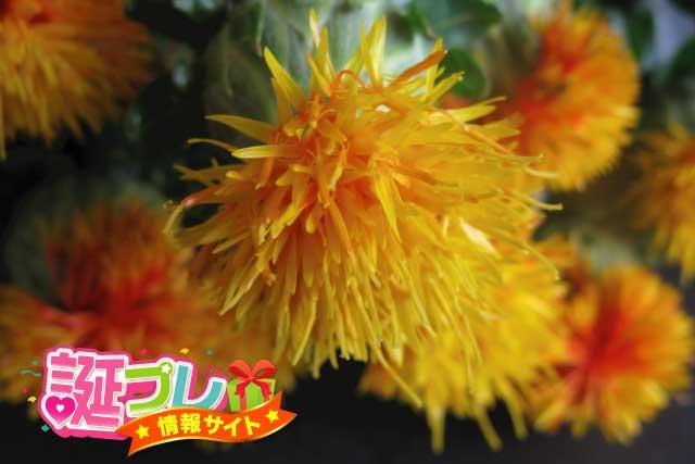 紅花(ベニバナ)の画像