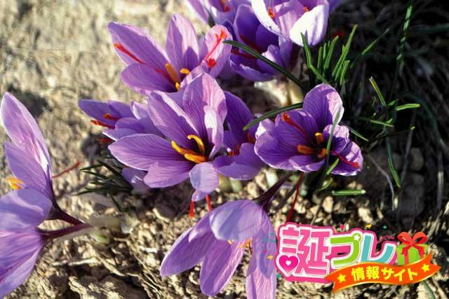 サフランの花の画像