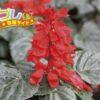 サルビアの花言葉は、花の色によって変わる4つの言葉