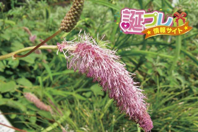 カライトソウの花の画像