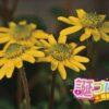 サンビタリアの花言葉は、好きになったことを意味する言葉