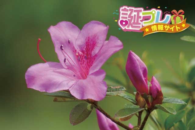 さつきの花の画像