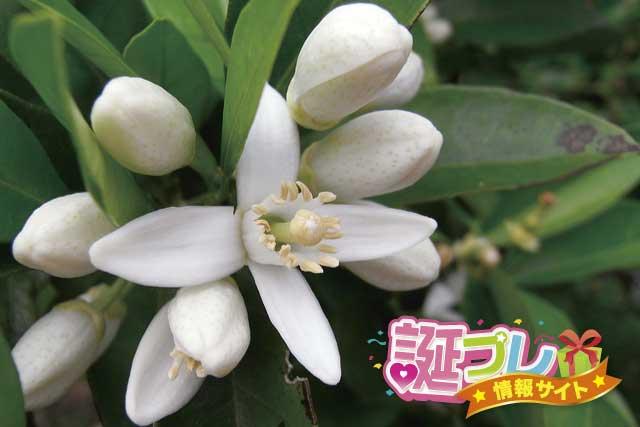蜜柑の花の画像