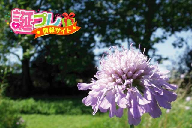 松虫草(マツムシソウ)の画像