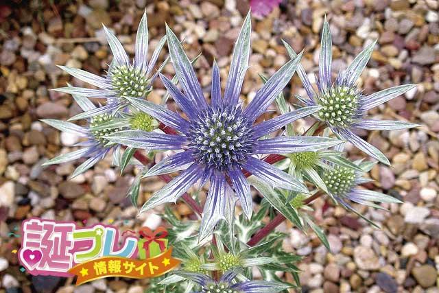 エリンジウムの花の画像