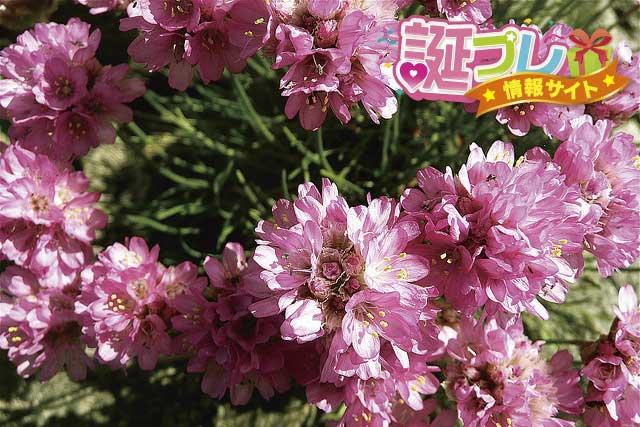 アルメリアの花の画像