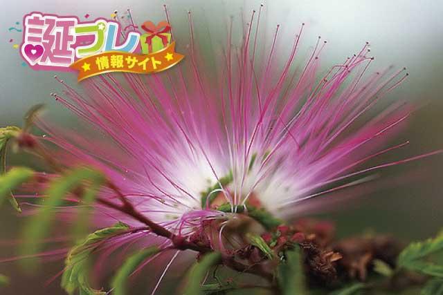 ネムノキの花の画像