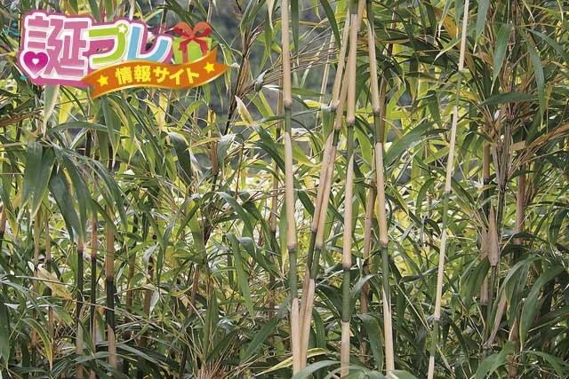 女竹の画像