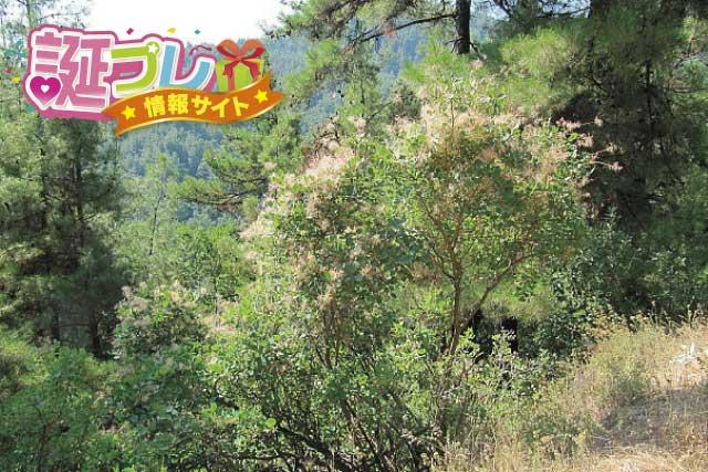 スモークツリーの画像
