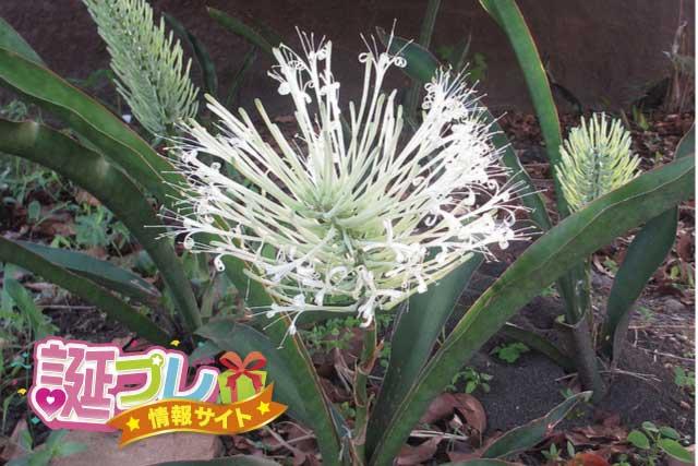 サンスベリアの花の画像