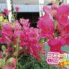 金魚草の花言葉はおしゃべりな意味合いの言葉