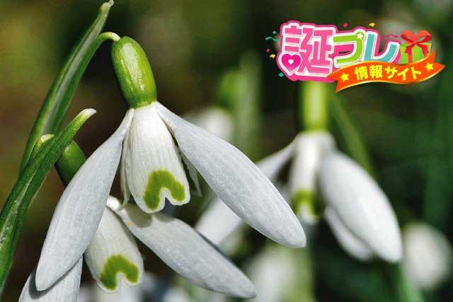 スノードロップの花の画像