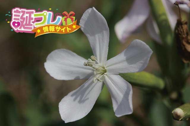 サポナリアの花の画像