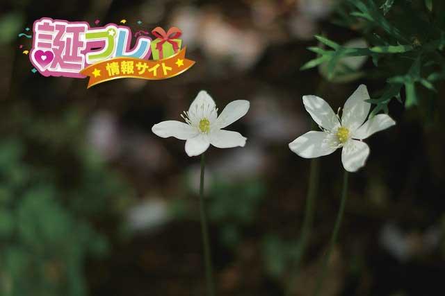 ニリンソウの花の画像