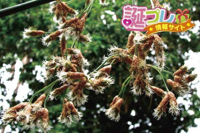 フトイの花の画像