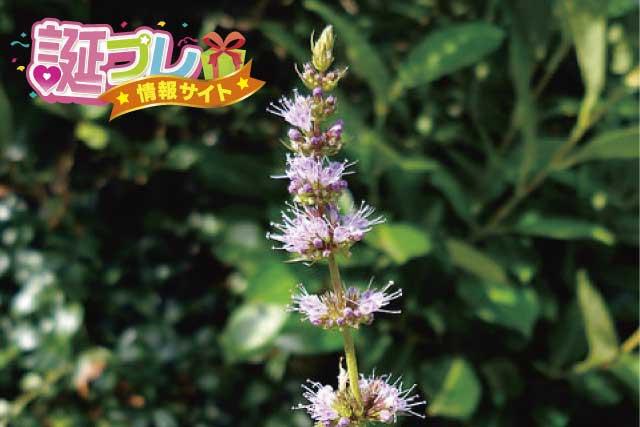 スペアミントの花の画像