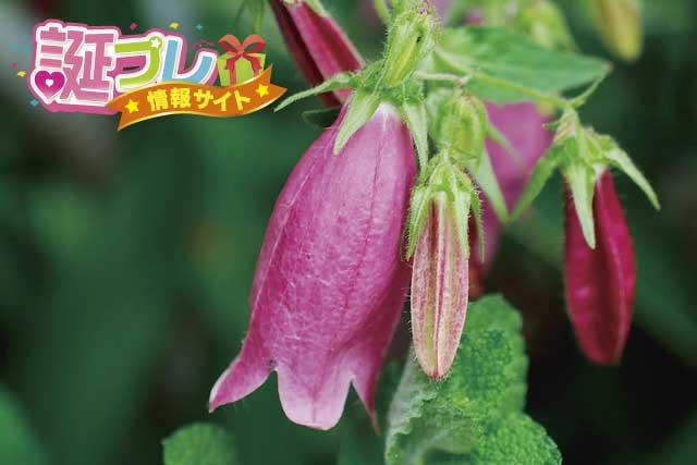 ホタルブクロの花の画像