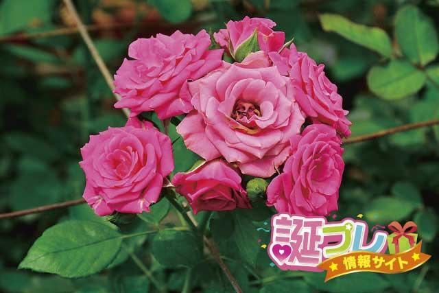 ピンクのスプレーバラの画像