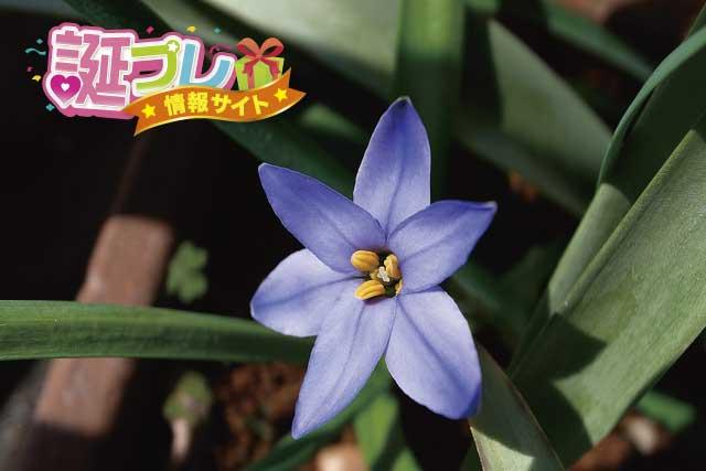 ハナニラの花の画像