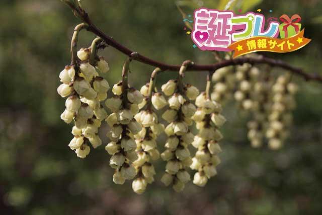 キブシの花の画像