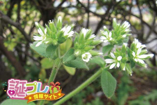 ミミナグサの花の画像