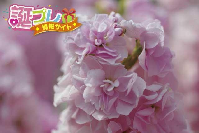 ストックの花の画像