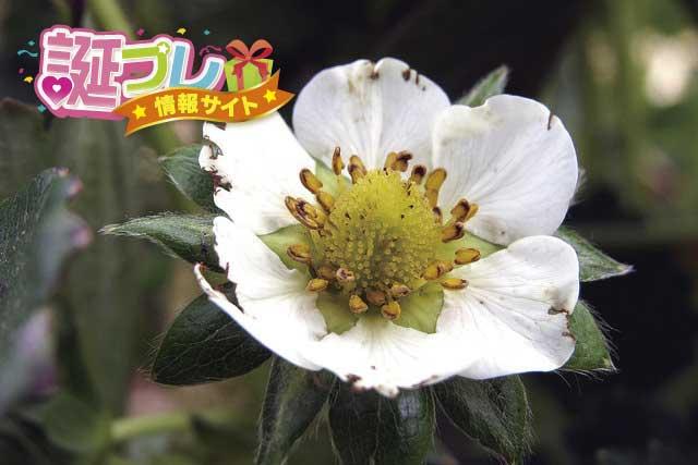 苺の花の画像