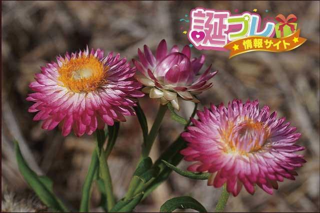 ヘリクリサムの花の画像