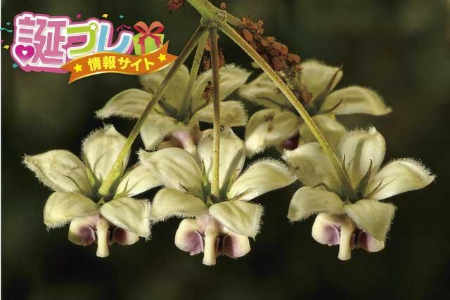 フウセントウワタの花の画像