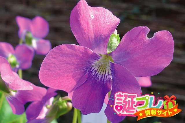 ニオイスミレの花の画像