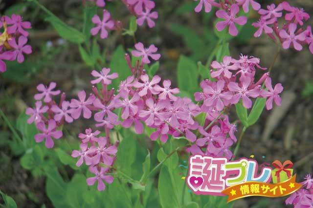 ムシトリナデシコの花の画像