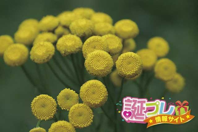 ヨモギギクの花の画像