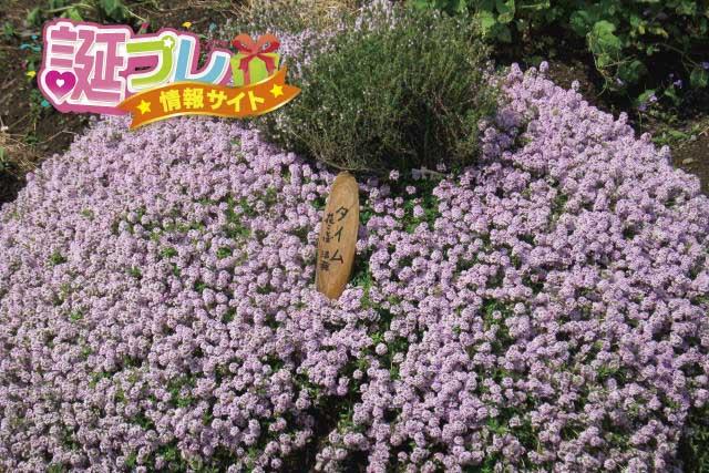 タイムの花の画像