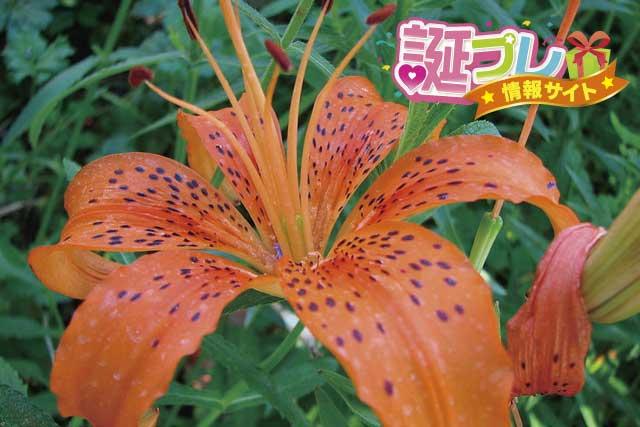 オニユリの花の画像