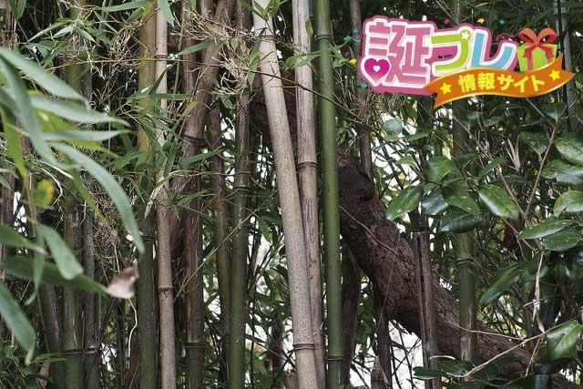 大名竹の画像