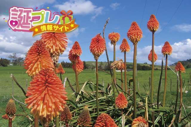 トリトマの花の画像