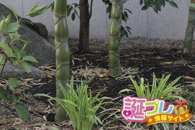 亀甲竹の画像