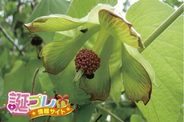 アブチロンの花の画像