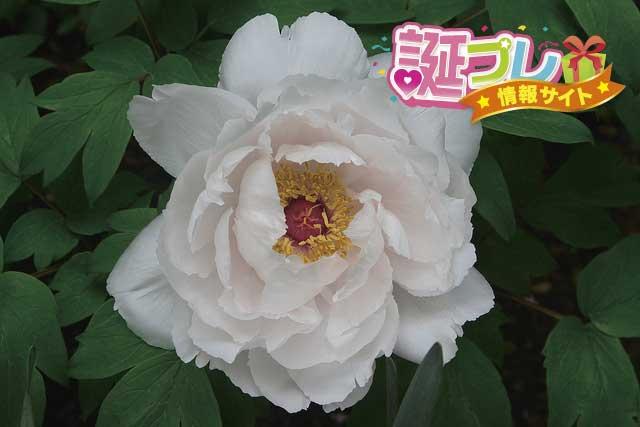 牡丹の花の画像