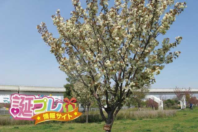 鬱金桜の画像
